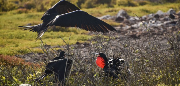 Frigatebird in Galapagos Islands