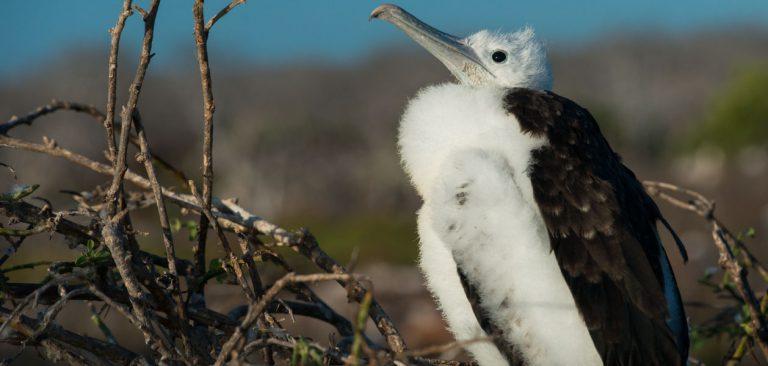 Baby Frigate bird in Galapagos Islands