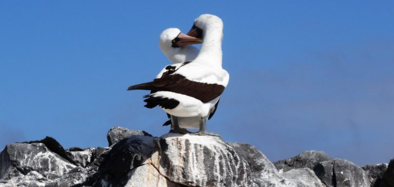 Masked Booby couple in Galapagos
