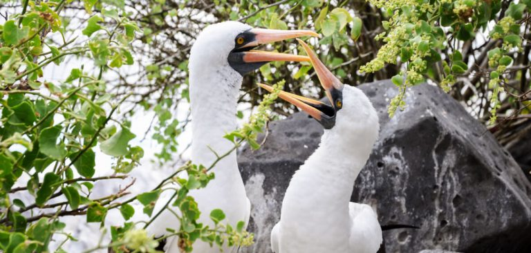 A pair of masked boobies courting in Galapagos Islands