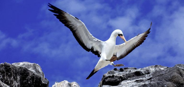 Masked Booby flying in Galapagos
