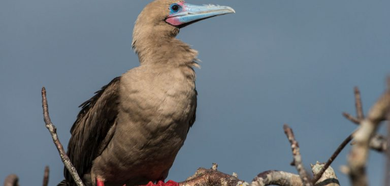 Red-Footed Booby, Galapagos Islands