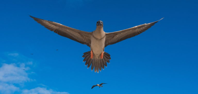 Galapagos Islands Red-Footed Booby (Sula granti) in flight