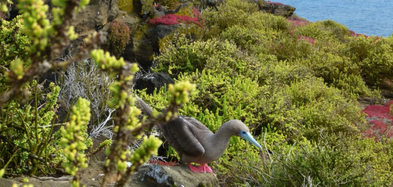 Galapagos Islands Red-Footed Booby, Galapagos Legend