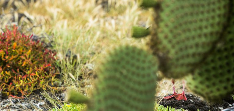 Red-Footed Booby feet in Galapagos Islands, cactus landscape