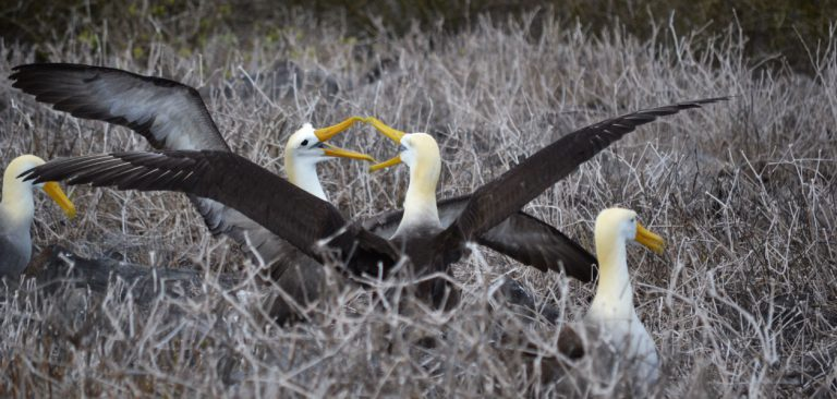 Galapagos Albatross couple in Española Island