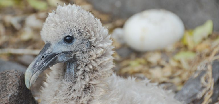 Baby Galapagos Albatross in Española Island