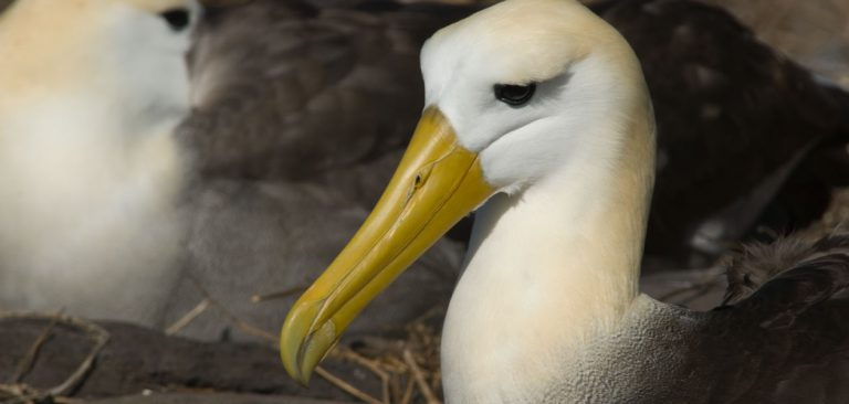 Waved Albatross in the Galapagos Islands