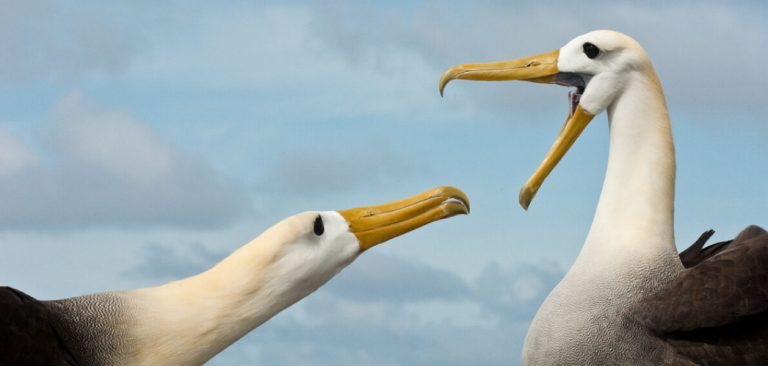 Galapagos Albatross in courtship ritual