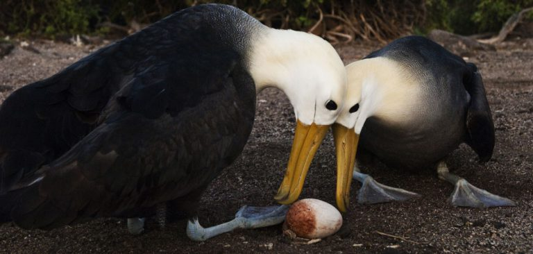 Waved Galapagos Albatross couple