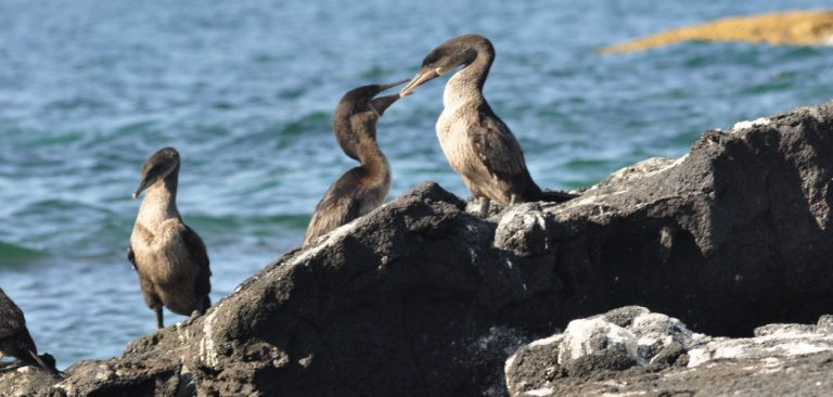 Flightless Cormorant fighting with a iguana in Galapagos