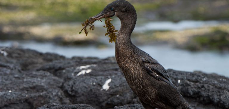 Flightless Cormorant in the Galapagos Islands with nesting material in beak
