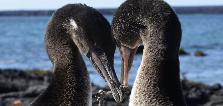 Galapagos flightless cormorant couple in courtship display
