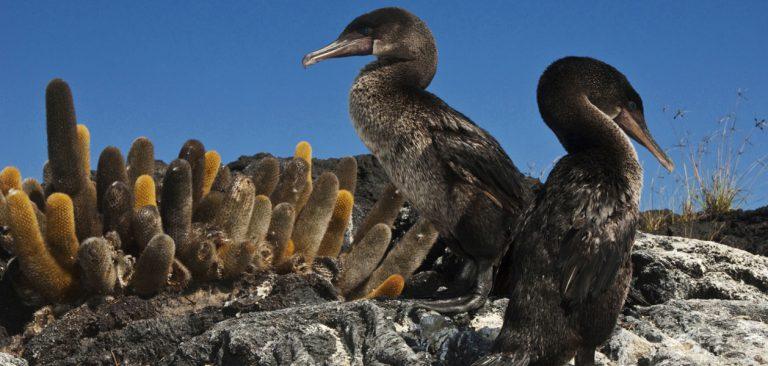 Galapagos Flightless Cormorant resting
