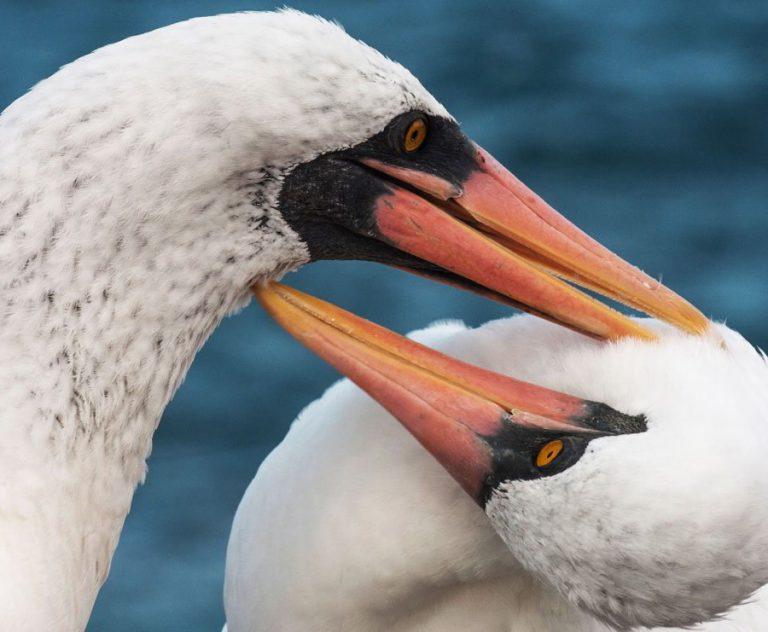 Pair of Nazca boobies pruning the plumage