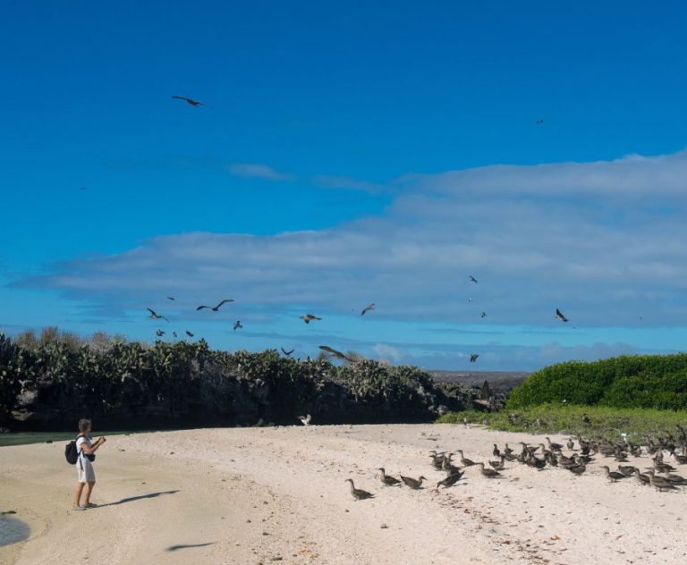 Flock of Red footed Boobies flying on Genovesa Island Galapagos