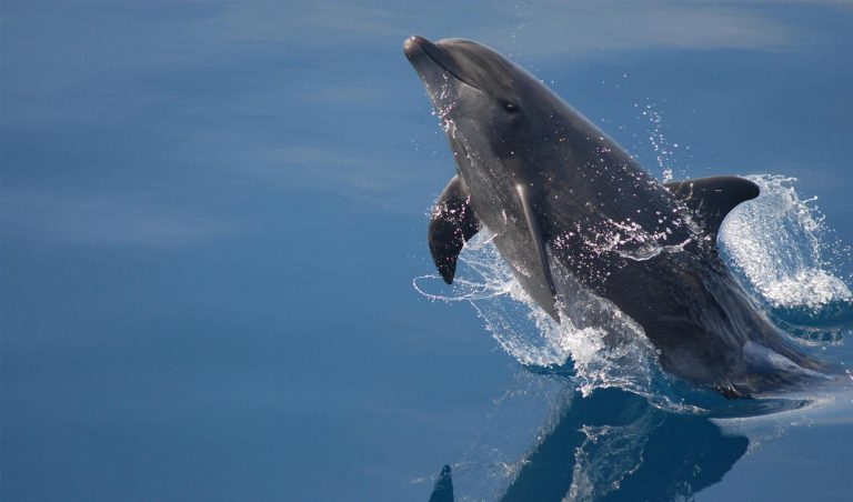 Galapagos Dolphin