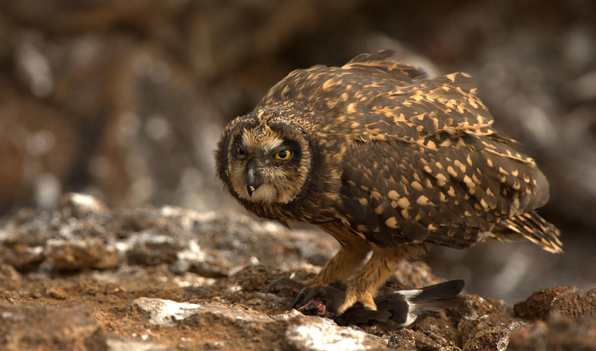 Galapagos Barn Owl | Go Galapagos