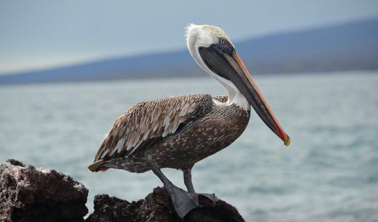 Galapagos Brown Pelican
