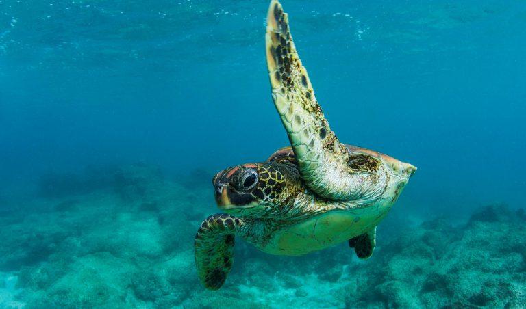 Tortuga marina verde de Galápagos