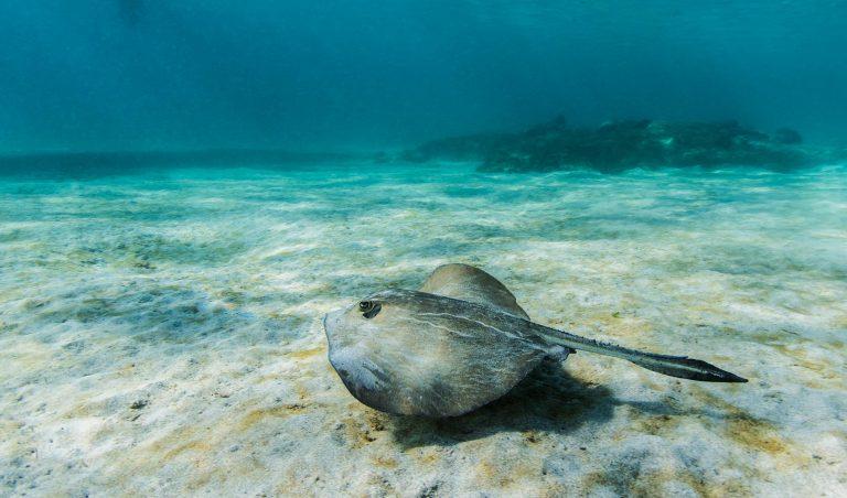 Galapagos Stingray