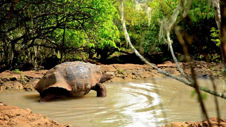 charles darwin station galapagos giant tortoise