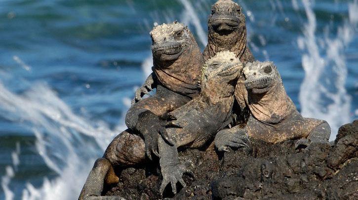 galapagos animals marine iguana 1