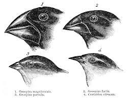 Galapagos Darwin Finches